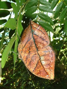 mariposa dead leave