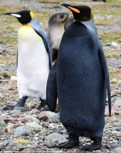 pinguino-negro-raro1