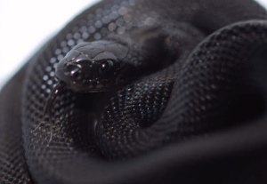 serpiente-negra-melanismo