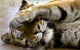 Amur-tiger-Tutti_1782065i